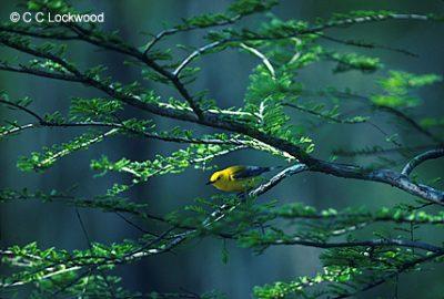 12820-warbler
