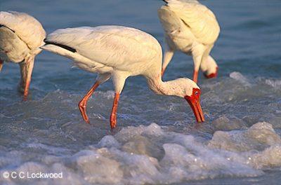 14260-ibis