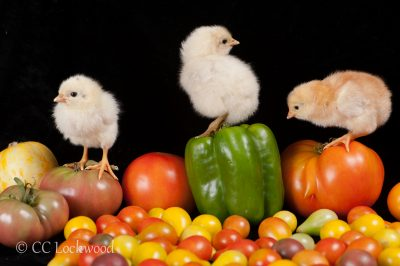 One day old mixed breed chicken chicks on top of the day's harvest of heirloom tomatoes.