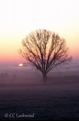 Sunrise in fog over a lone tree