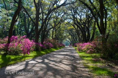 Live oak lined driveway into Afton Villa Plantation. It was built by David Barrow. a wealthy planter in 1849. It burned in 1963 and is now open for visiting to the spacious and beautiful gardens each spring and fall.