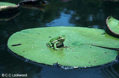 14259-frog