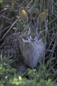 MM2b Swamp rabbit Sylvilagus aquaticus Sabine National Wildlife Refuge, Louisiana, USA